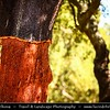 Portugal - Quercus suber - commonly called the Cork Oak - Medium-sized, evergreen oak tree in the section Quercus sect. Cerris. It is the primary source of cork for wine bottle stoppers and other uses.