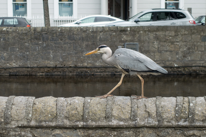 Grey heron, Westport