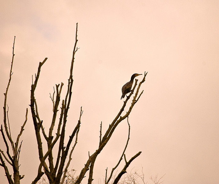 Pygmy coromorant