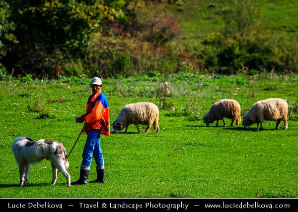 Europe - Romania - Transylvania region - Traditional local shepherd and his sheep