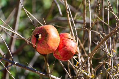 Pomegranites still on the tree