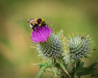 Bee and Scottish Thistle
