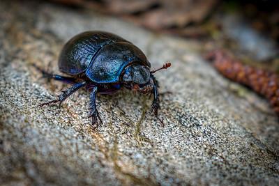 Jeweled Beetle