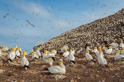 Gannets High amd Low