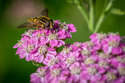 Hoverfly on Pinks