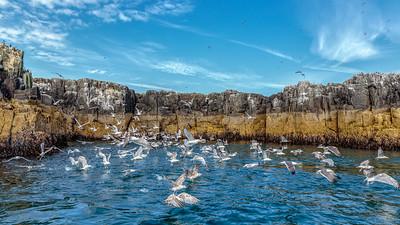 Herring Gull Explosion