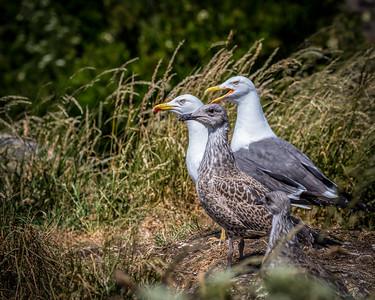 Lesser Black-backed Gulls and Chicks