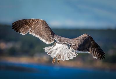 """""""Looking Left"""" Lesser Black-backed Gull"""