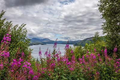 Fireweed at Loch Carron Overlook