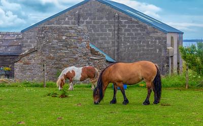 Orkney Ponies
