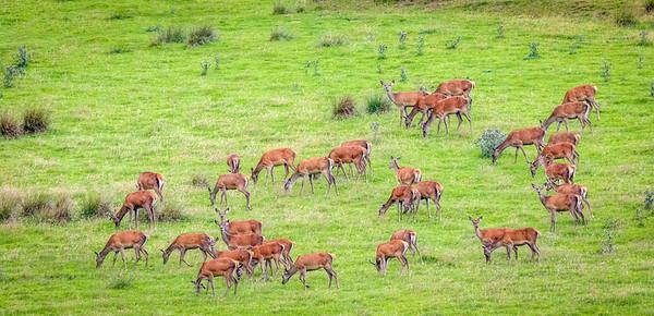 Red Deer Harem