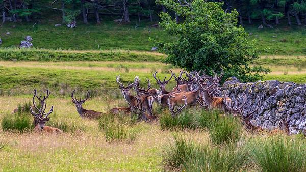 Red Deer Bachelor Herd