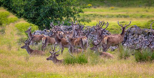 Red Deer Bachelor Herd II