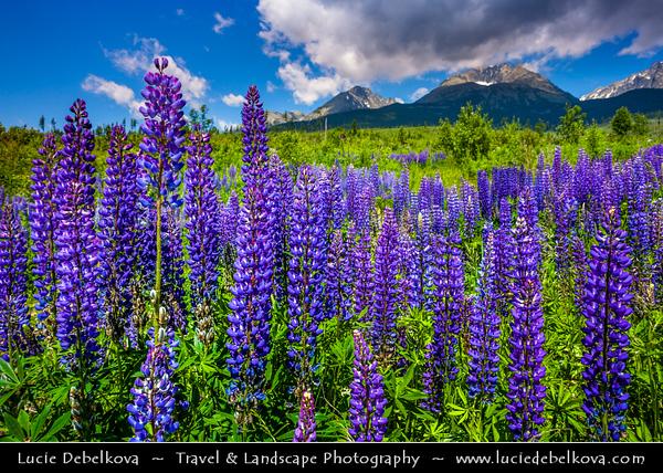 Europe - Slovakia - Slovak Republic - Slovensko - Hight Tatras - Vysoke Tatry - Highest mountain range of Eastern Europe - Meadow of Lupine flowers (genus Lupinus) - Fields in full bloom