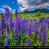 Europe - Slovakia - Slovak Republic - Slovensko - Hight Tatras - Vysoke Tatry - Highest mountain range of Eastern Europe - Meadow of Lupine flowers (genus Lupinus) - Fields in full bloom