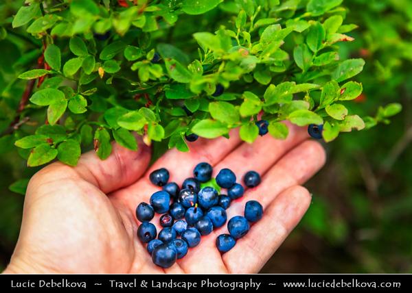 Europe - Slovakia - Slovak Republic - Slovensko - High Tatras - Vysoke Tatry - Hrebienok (1,285m) - Blueberries next to cascaded Vodopády Studeného potoka waterfalls