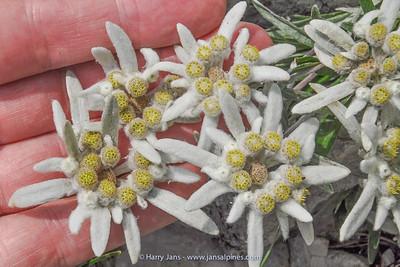 Leontopodium alpinum  (ssp. ?)