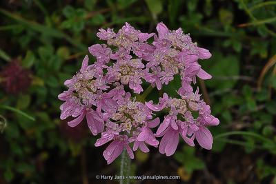 Orlaya grandiflora
