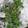 Rhodothamnus chamaecistus