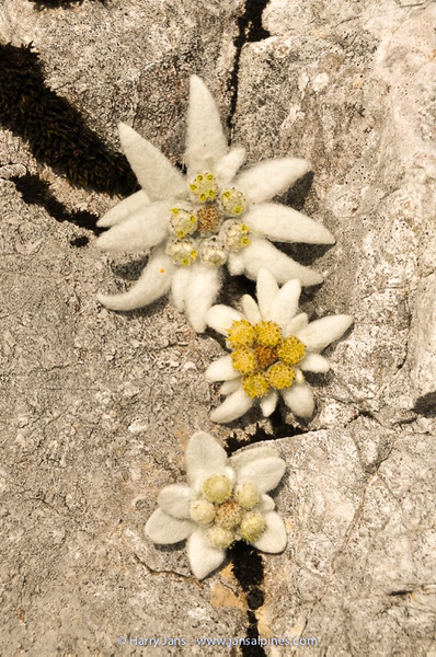 Leontopodium alpinum