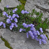 Campanula zoysii & Rhodothamnus chamaecistus