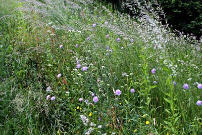 Field Scabious in meadow