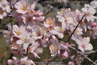Prunus dulcis (almond tree)