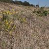 habitat Narcissus cordubensis