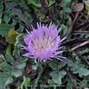 Centaurea pullata ssp. pullata