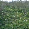 habitat Narcissus papyraceus