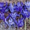 variation Iris planifolia