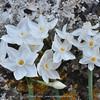 Narcissus pannizianus (variation)