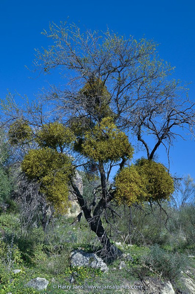 mistletoe (Viscum cruciatum) on almond tree