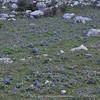 habitat Iris planifolia