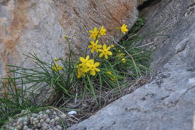 Narcissus cuatrecasasii