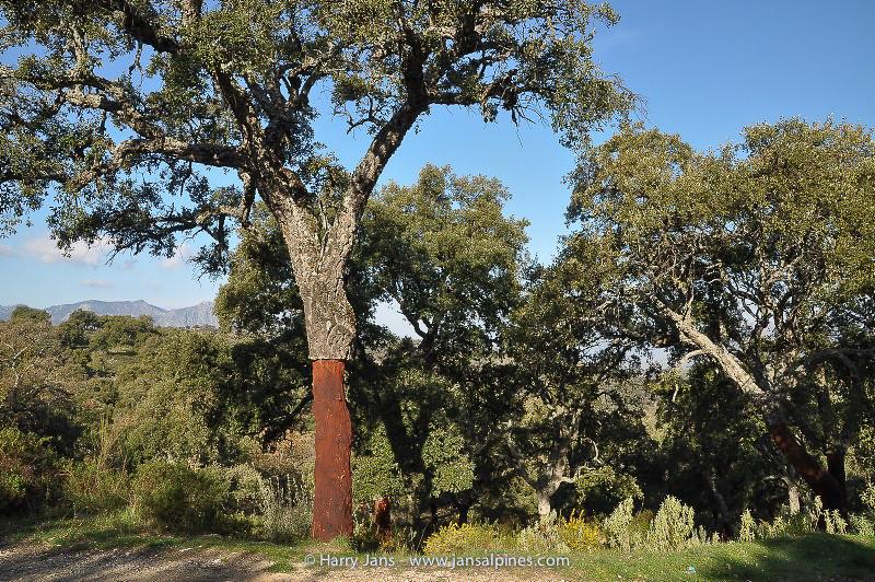 Quercus suber (cork oak)