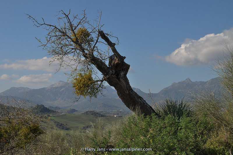 mistletoe (Viscum cruciatum) on almond tree