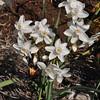 Narcissus pannizianus (HJ Select)