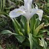 Iris planifolia f. alba