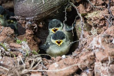 Coal Tit Chicks
