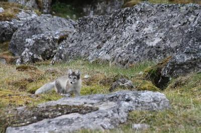 young arctic fox
