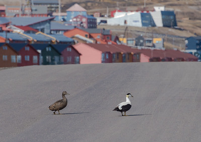 """Eider Crossing"" in Longyearbyen - the Entry to Spitsbergen"