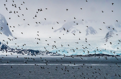 Little Auk Colony Takes Flight