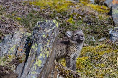 Arctic Fox Pup Challenging Littermates