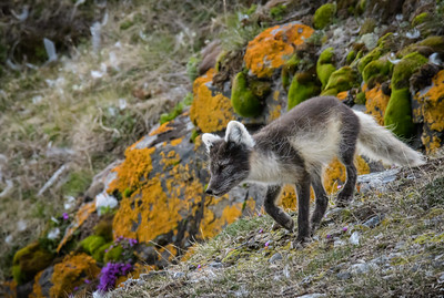 Adult Arctic Fox Checks Den Area