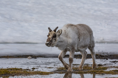 Svalbard Reindeer Are Related to North American Caribou