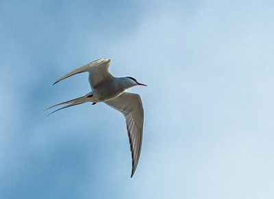 Arctic Tern on the Hunt