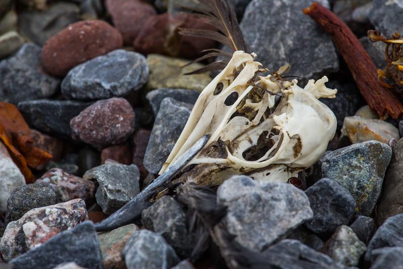 Bird skull, Burgerbukta