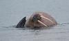 Walrus, Phippsoya