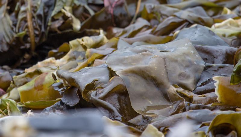 Kelp, Burgerbukta